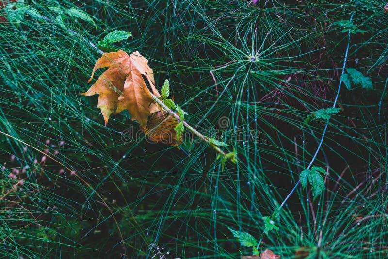 Feuille tombée morte d'or d'automne de Brown sur la queue de cheval photographie stock