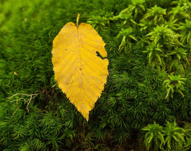 Feuille tombée par jaune sur le fond vert de mousse image libre de droits