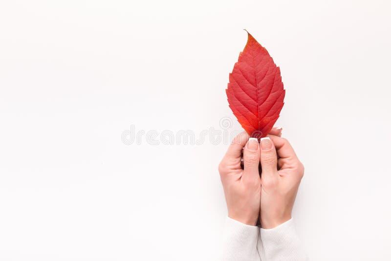 Feuille tombée rouge lumineuse chez des mains de la femme sur le fond blanc photos stock