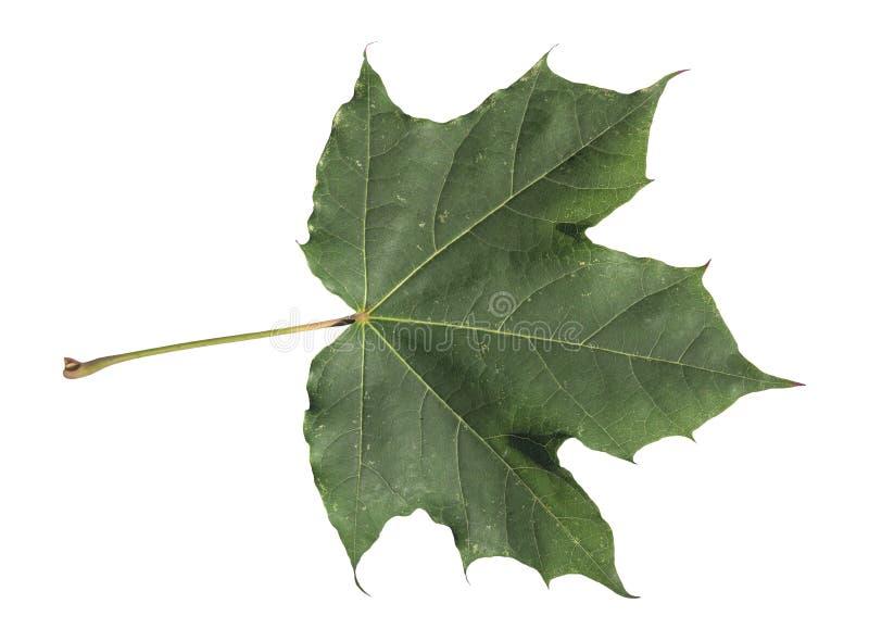Feuille tombée verte d'automne de l'arbre d'isolement sur le blanc photos libres de droits