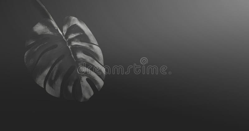 Feuille tropicale noire de Monstera au fond, à la bannière ou au calibre noire de gradient Conception botanique exotique créative illustration libre de droits