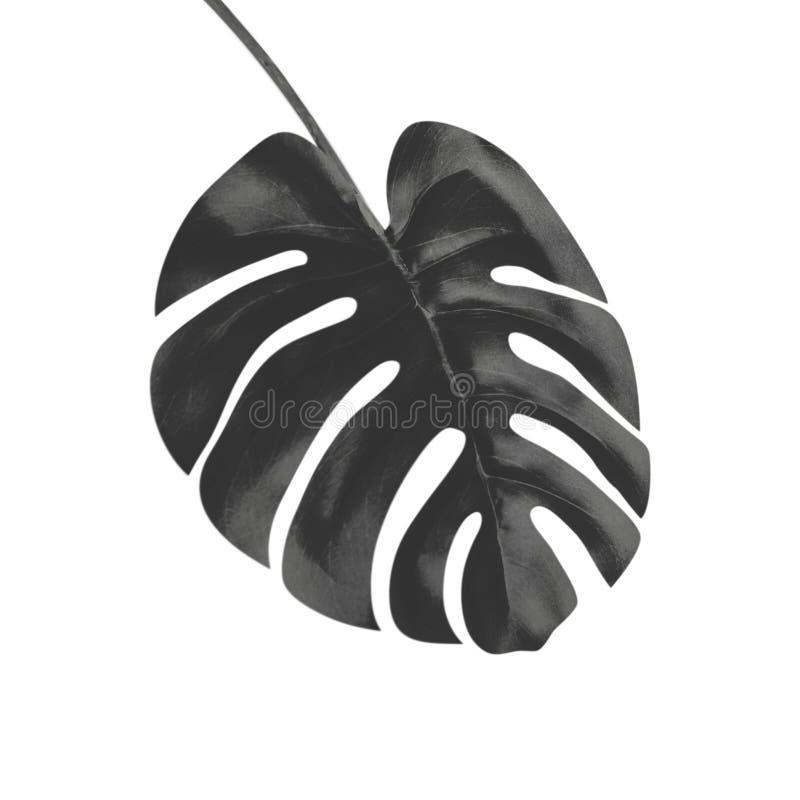 Feuille tropicale noire de Monstera, d'isolement sur le fond blanc illustration libre de droits