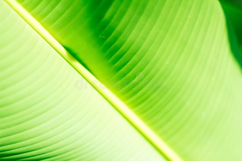 Feuille tropicale verte fraîche de banane d'isolement sur le fond blanc, chemin photo stock