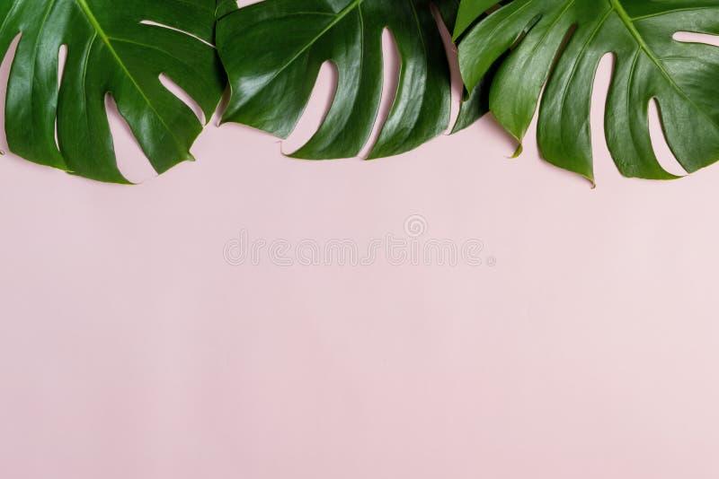 Feuille tropicale verte fraîche de Monstera sur le fond rose avec l'espace de copie, vue supérieure image stock