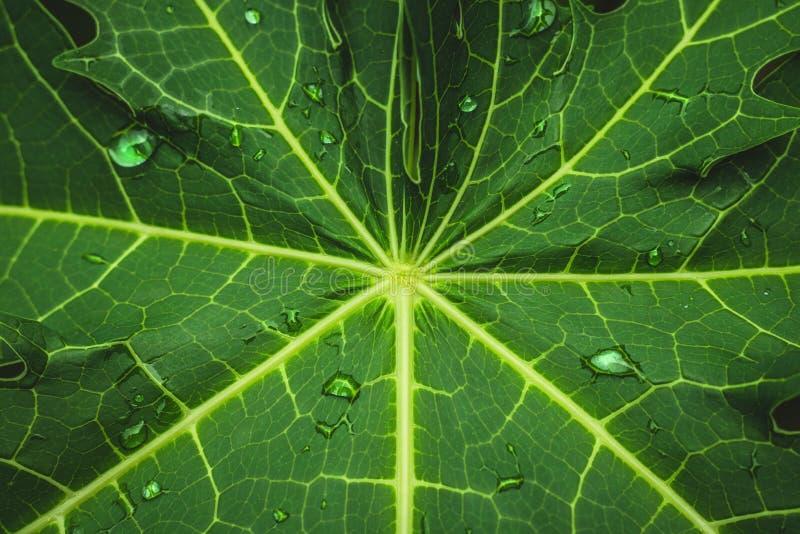 Feuille verte avec le modèle abstrait et rosée à l'arrière-plan de nature photo stock