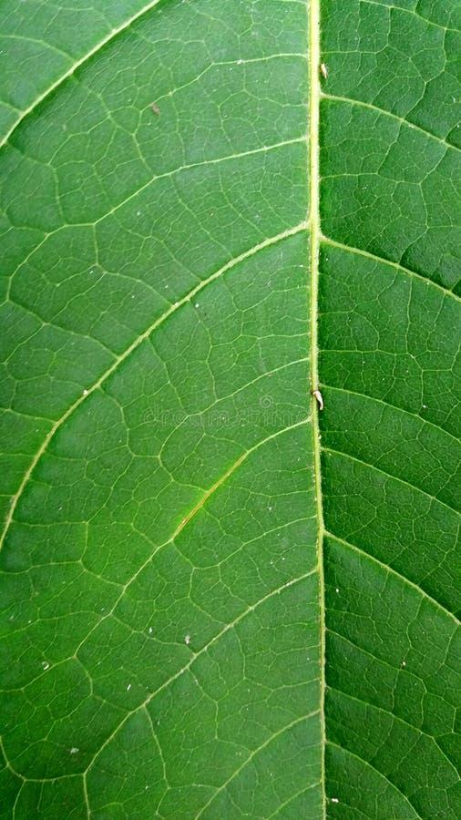 Feuille verte avec le papier peint évident de veines photographie stock libre de droits