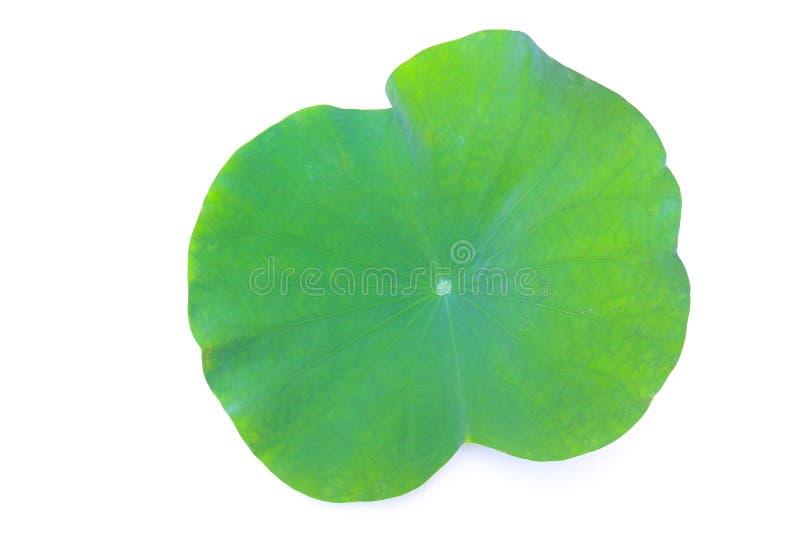 Feuille verte d'assemblée plénière de Roseum ou de double lotus rouge photo libre de droits