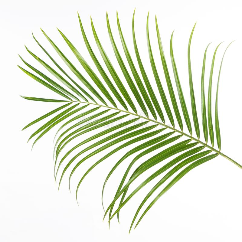 Feuille verte d'isolement de fougère, fond blanc photographie stock libre de droits