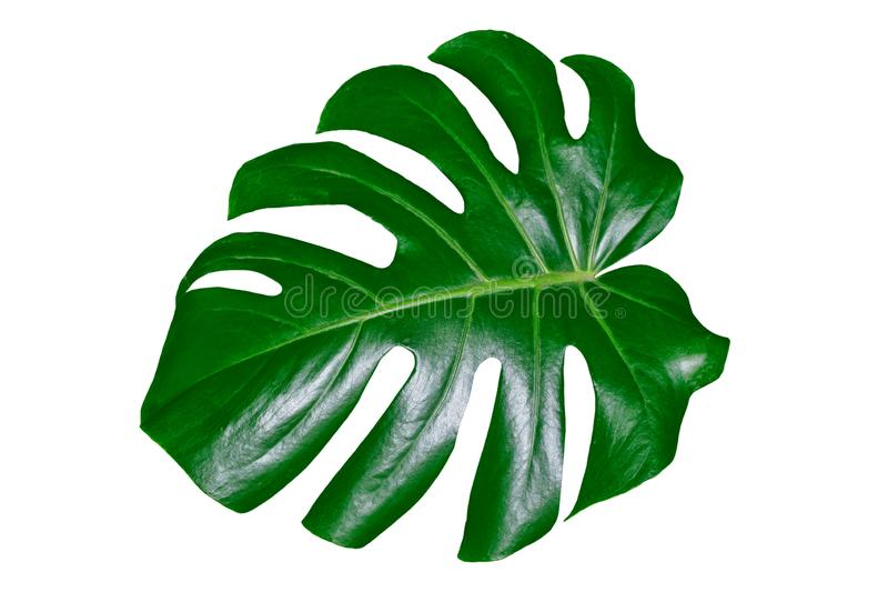 Feuille verte d'un monstera tropical de fleur images libres de droits