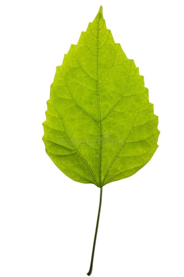 Download Feuille Verte D'une Usine Sur Un Blanc Image stock - Image du feuille, colorant: 87707135