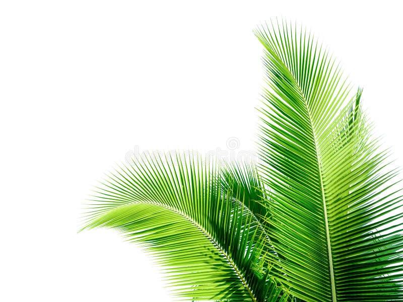 feuille verte de cocount de palmier d'isolement image libre de droits
