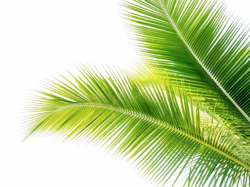 feuille verte de cocount de palmier d'isolement photographie stock libre de droits