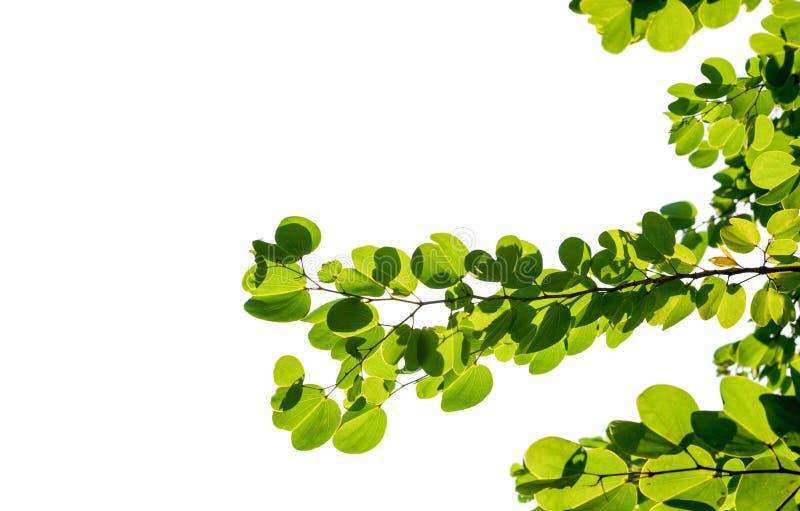 feuille verte de cocount de palmier d'isolement photo stock