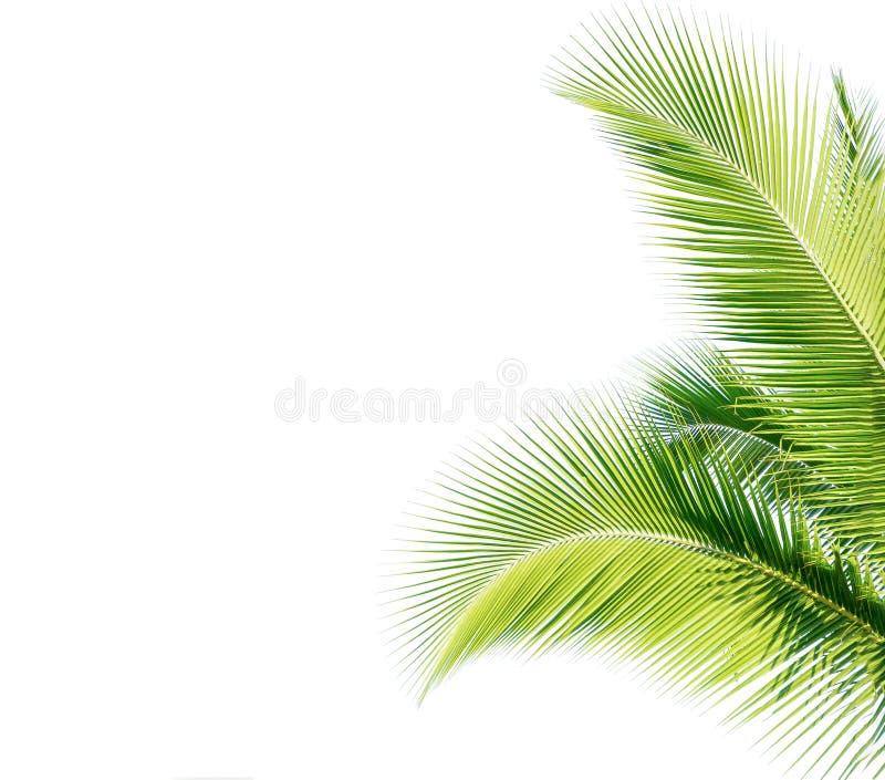 feuille verte de cocount de palmier d'isolement photos stock
