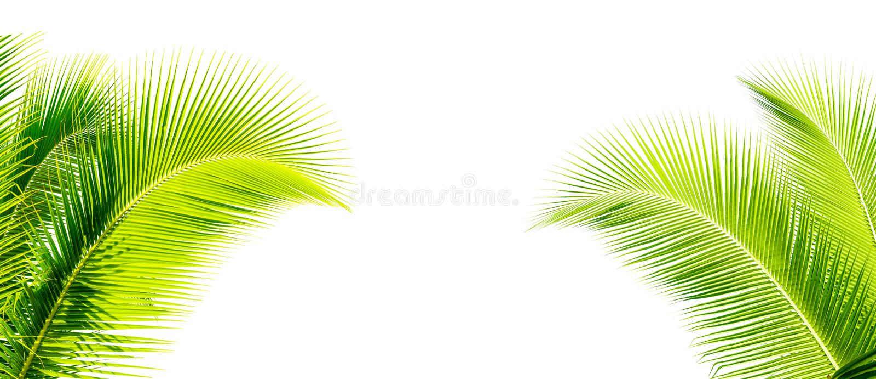 feuille verte de cocount de palmier d'isolement images stock