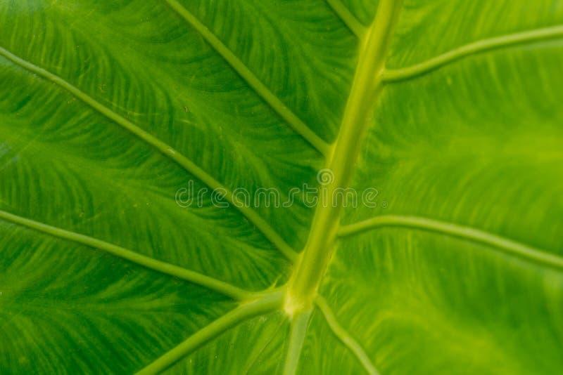 Feuille verte de Colocasia esculenta ou d'usine d'oreille d'éléphant photographie stock libre de droits