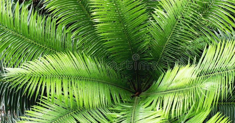 Feuille verte de cycadales dans la forêt comme le fond image stock