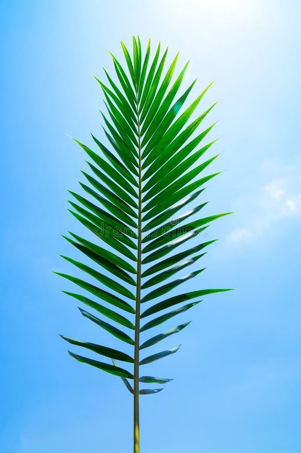 Feuille verte de palmier de noix de coco sur le fond de ciel bleu photo stock