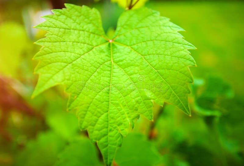 feuille verte de raisin de vigne images libres de droits