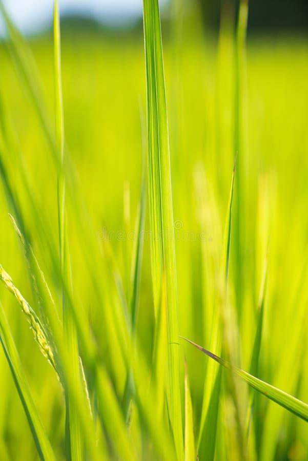 Feuille verte de riz sur le fond de lever de soleil photo stock