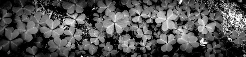 Feuille verte de tr?fle d'isolement sur le fond blanc avec les oxalidex petite oseille trois-leaved Symbole de vacances de jour d photographie stock libre de droits