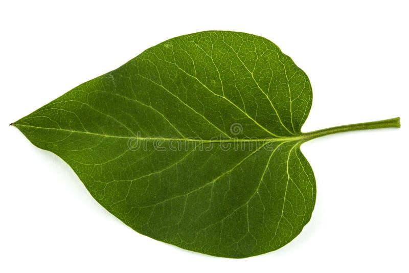 Feuille verte du lilas, Syringa vulgaris, d'isolement sur le backgro blanc images libres de droits