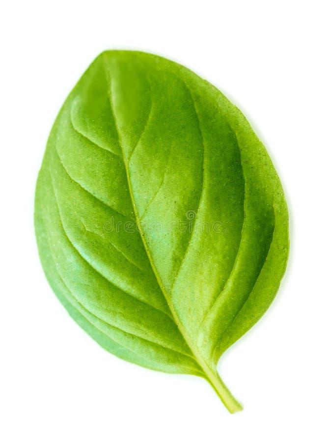 Feuille verte fraîche de basilic d'isolement sur le fond blanc, macro photographie stock libre de droits