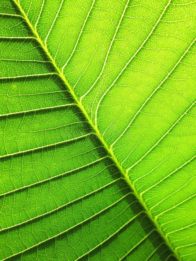 Feuille verte modelée du fond d'arbre de Plumeria image libre de droits