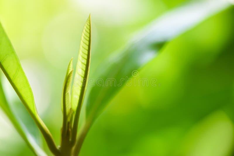 Feuille verte naturelle sur la lumière du soleil brouillée dans la fin fraîche d'arbre de feuilles d'écologie de jardin vers le h image libre de droits
