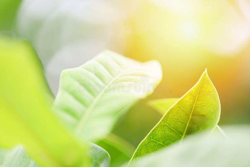 Feuille verte naturelle sur le fond brouill? de lumi?re du soleil dans la fin fra?che d'arbre de feuilles d'?cologie de jardin ve image libre de droits