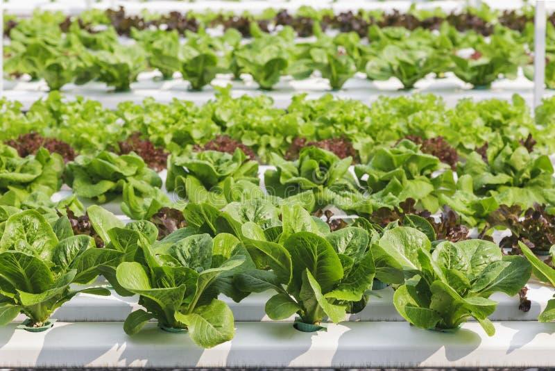 Feuille verte organique hydroponique de ferme végétale images stock