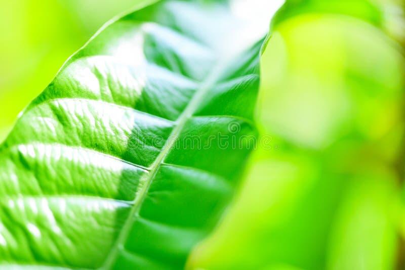 Feuille verte sur le fond brouillé de lumière du soleil dans la fin fraîche d'arbre de feuilles d'écologie de jardin vers le haut photo stock
