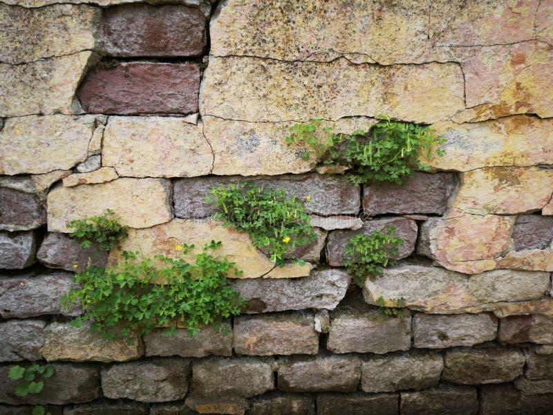 Feuille verte sur le vieux mur de briques images libres de droits