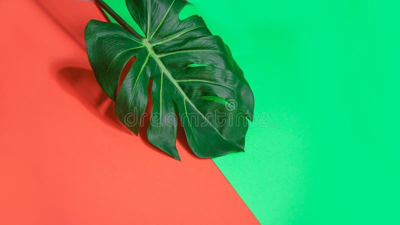 Feuille verte tropicale de monstera de paume ou usine de fromage suisse sur le corail rose et le fond vert photographie stock