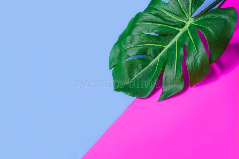 Feuille verte tropicale de monstera de paume ou usine de fromage suisse sur le rose et le fond bleu images stock
