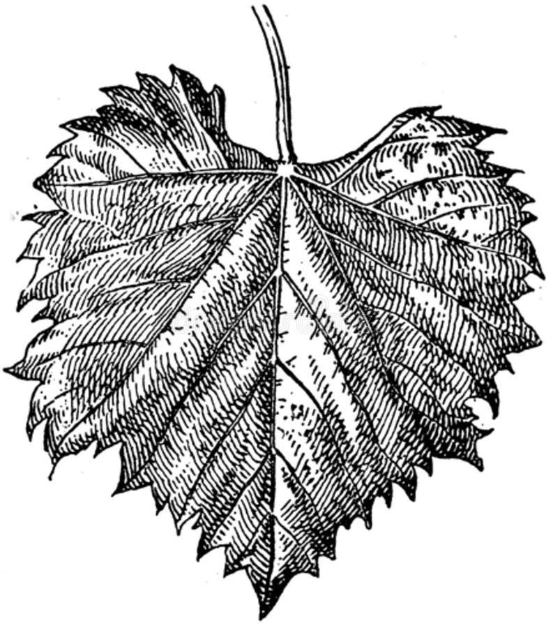 Feuille-vigne-2-oa Free Public Domain Cc0 Image