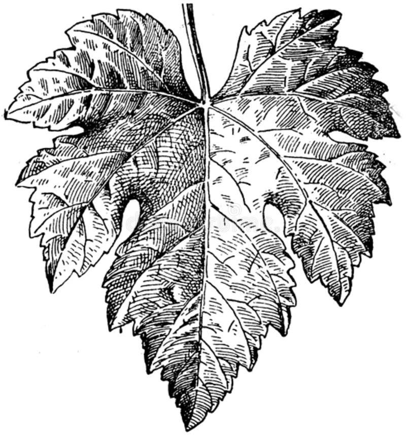 Feuille-vigne-4-oa Free Public Domain Cc0 Image