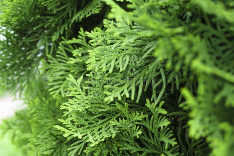 Feuilles ? feuilles persistantes d'arbre de Thuja de fond Les branches de Thuja se ferment  Fond de nature ou texture vert de pap photographie stock libre de droits