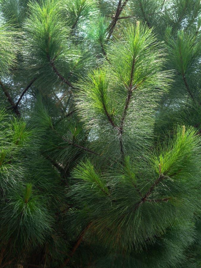 Feuilles à feuilles persistantes de pin indigène australien le jour chaud d'été L'equisetifolia de Casuarina savent également en  photo libre de droits