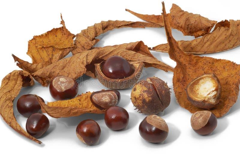 Feuilles, écrous et coquilles des marrons d'Inde image stock