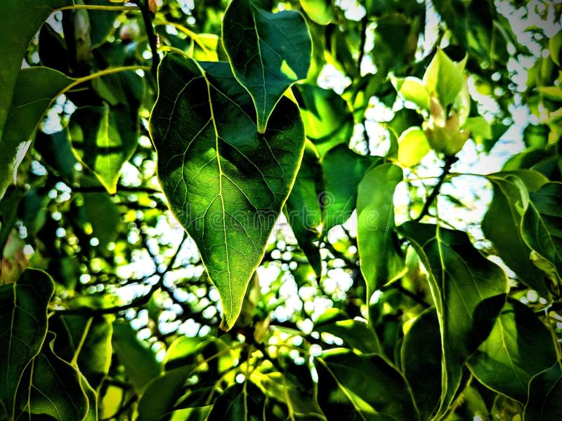 Download Feuilles image stock. Image du lames, arbre, vert, ombres - 87700459