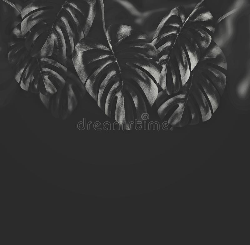 Feuilles accrochantes tropicales noires de Monstera au fond noir, frontière image stock