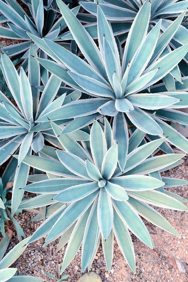 Feuilles aiguës pointues d'agave photo stock
