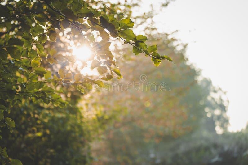 Feuilles allumées arrières attrapant le premier soleil du jour au Bos d'Amerongse photographie stock libre de droits