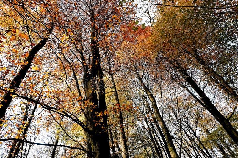 Feuilles ambres et d'or sur les arbres chez Nunburnholme Yorkshire est Angleterre images libres de droits