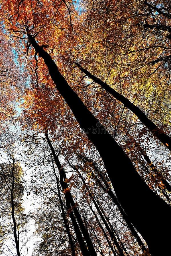 Feuilles ambres et terres d'ombre sur les arbres chez Nunburnholme Yorkshire est Angleterre photographie stock libre de droits