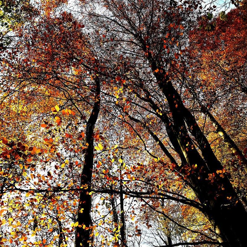 Feuilles ambres et terres d'ombre tombant des arbres chez Nunburnholme Yorkshire est Angleterre photos stock