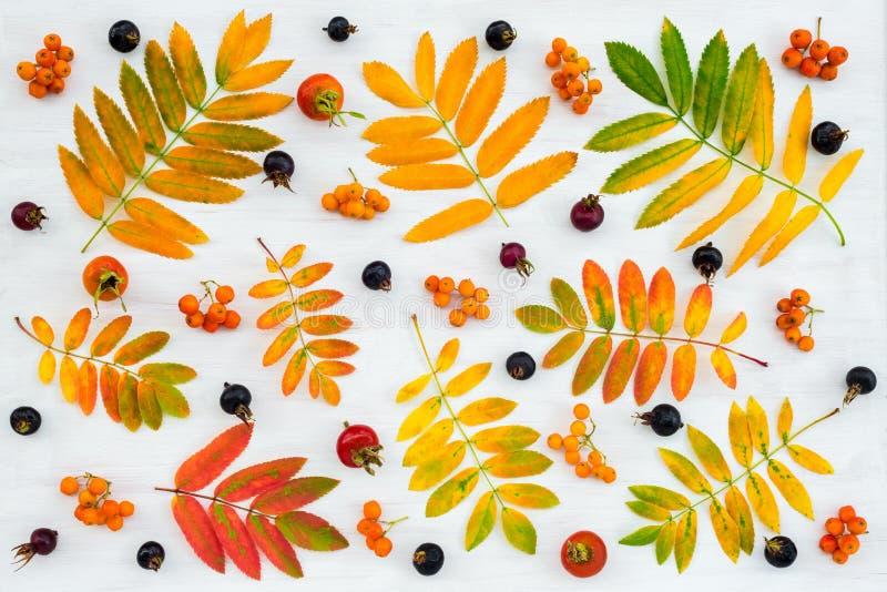 Feuilles ashberry colorées d'arbre, baies et fruits roses sauvages photographie stock libre de droits