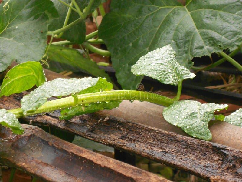 Feuilles asiatiques sur la gouttelette d'eau avec le vert frais photos libres de droits