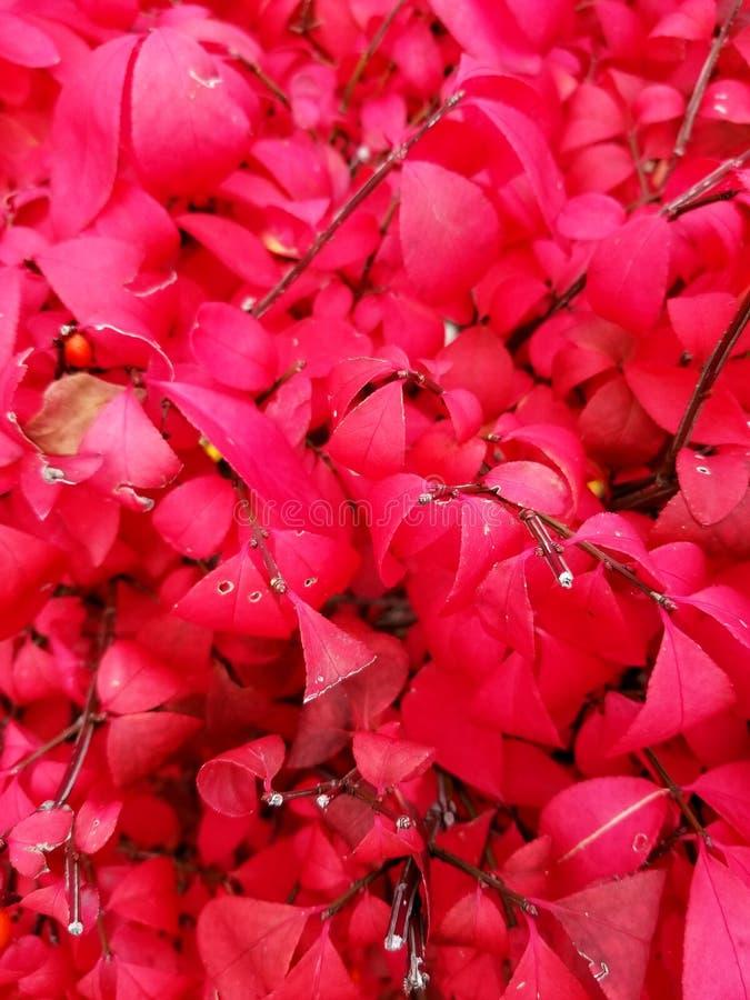 Feuilles avec des couleurs rouges photo stock